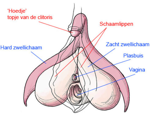 Wat is een clitoris?